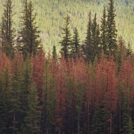 Pine trees send chemical warning to each other when pine beetles attack