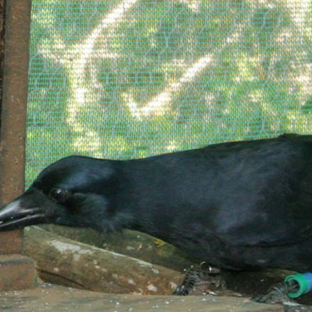 Birdbrainy: New Caledonian crows make tools using mental images