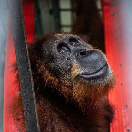 One Casualty of the Palm Oil Industry: An Orangutan Mother, Shot 74 Times