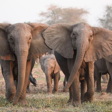Elephants are evolving to lose their tusks