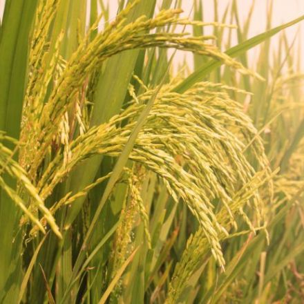 China is developing rice that grows in saltwater
