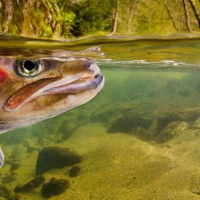 This saltwater trout evolved to live in freshwater—in just 100 years