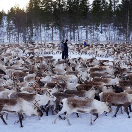 Something strange has happened to reindeer 30 years after Chernobyl