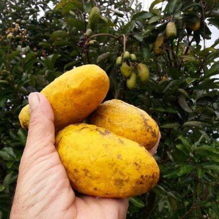 This Fruit Tastes Like Custard