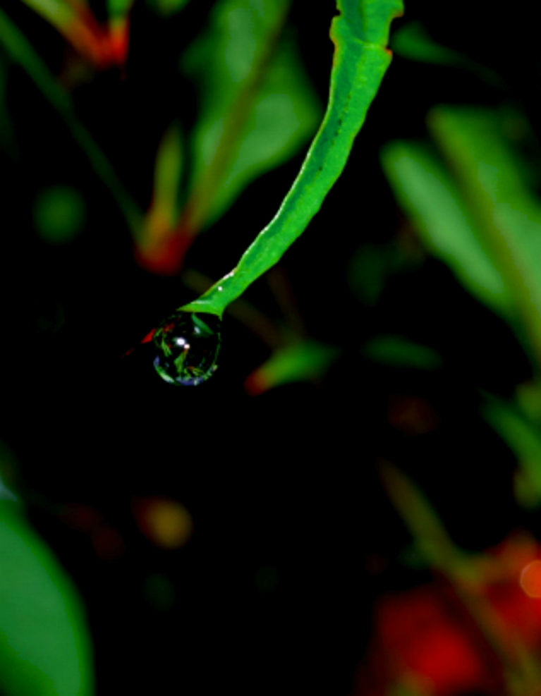 A rain drop on a acacia tree reflects the dark winter light, on the fence by the creek at our place, Rotorua, NZ