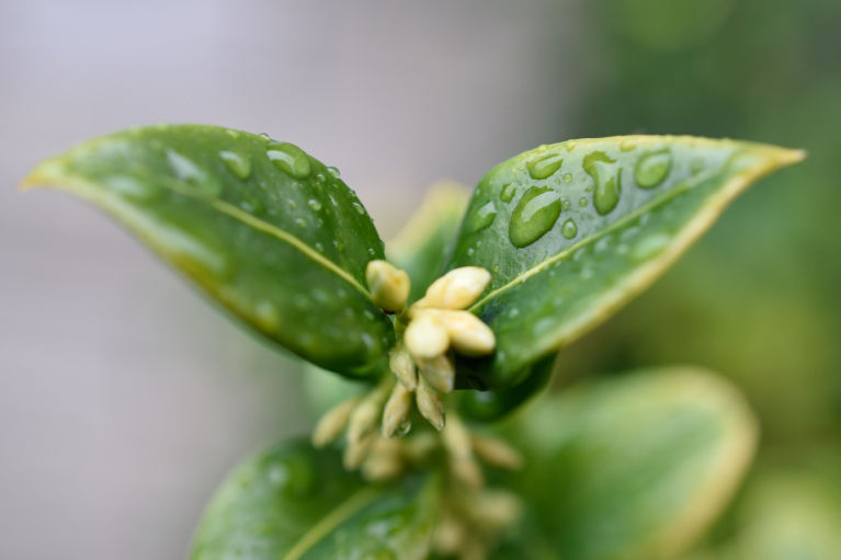 Rain drops on a native hebe leaves from our garden