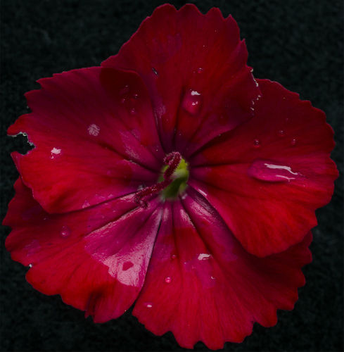 sweet william flower just after a summer rain shower.