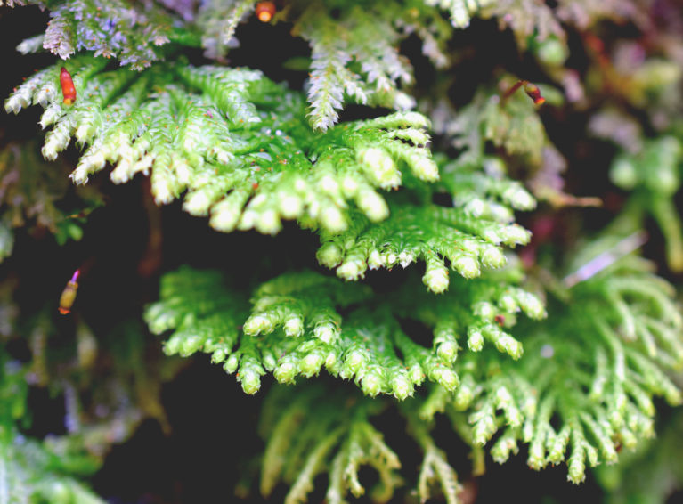 A tiny native fern approx 5 cm long grows among the moss and lichen on a rock wall in the fernery at the Auckland Domain, the light tips of the fronds catch the late afternoon sunlight. The flowers are that of a tiny moss.
