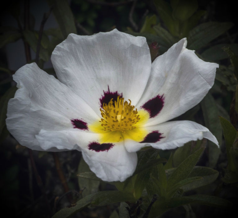 A Rock Rose opens and reveals its vivid yellow stamens and deep violet markings on its pure white petals, in a early spring display in the rock garden at our place
