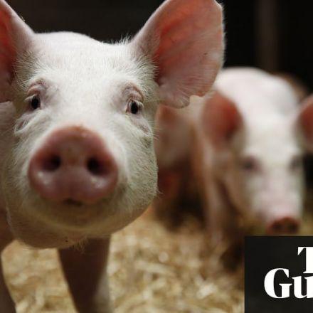 Scientists genetically engineer pigs immune to costly disease