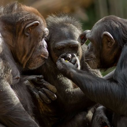 True altruism seen in chimpanzees, giving clues to evolution of human cooperation