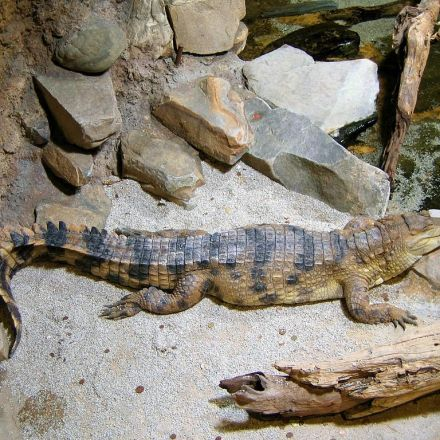 Africa's slender-snouted crocodile is not one but two species