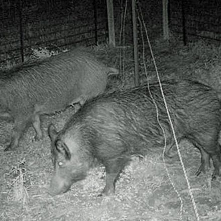 Texas Approves Hunting Feral Hogs by Hot Air Balloon