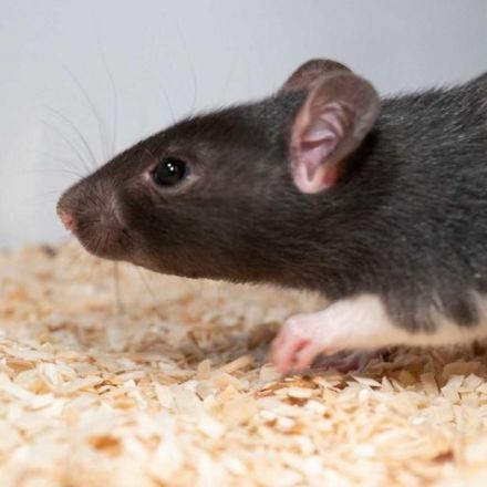 Rats love to play hide and seek, scientists find
