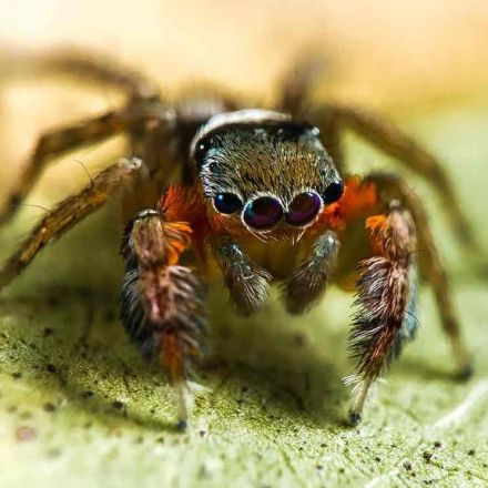 Fifty new species of spider discovered in far north Australia