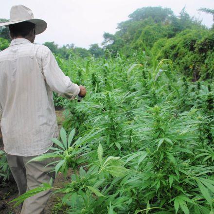Mexican marijuana farmers see profits tumble as U.S. loosens laws