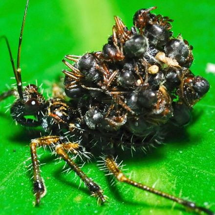 Unbelievable Assassin Bug Wears Its Victims' Corpses as Armor