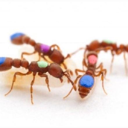 Scientists create the first mutant ants