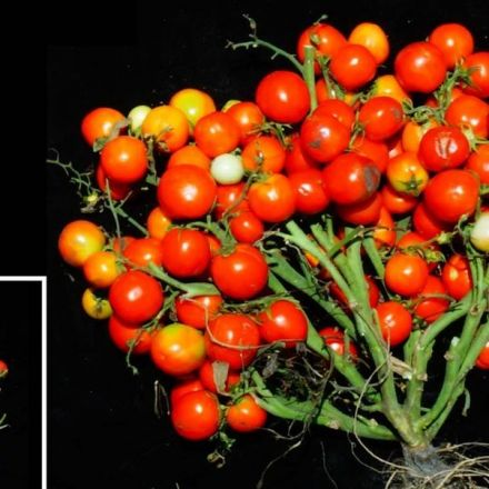 Scientists Gene-Edited Tomatoes to Make Them Grow Like Grapes