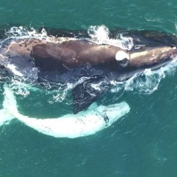 A Rare White Calf Is Spotted During Right Whale Baby Boom