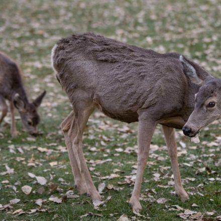 Eating 'zombie' deer meat is safe, researchers say