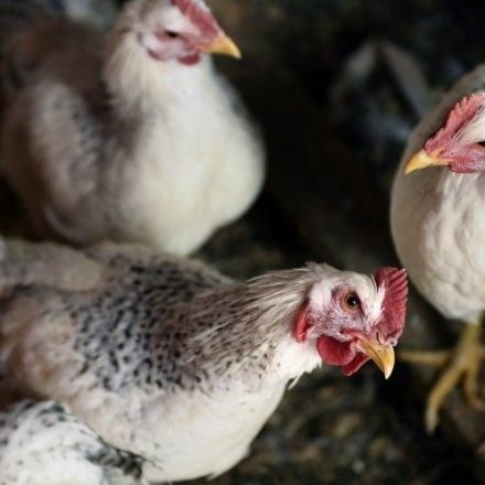 Horrifying conditions inside US farms that could supply chlorine-washed chicken