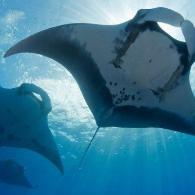 Scientists discover world's first manta ray nursery