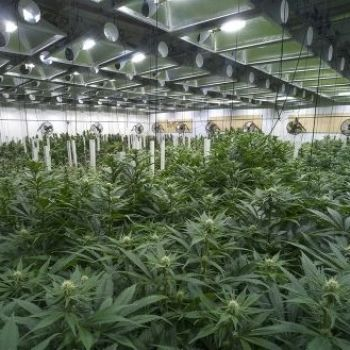 Marijuana Grow Ops Could Soon Rival Data Center Energy Use