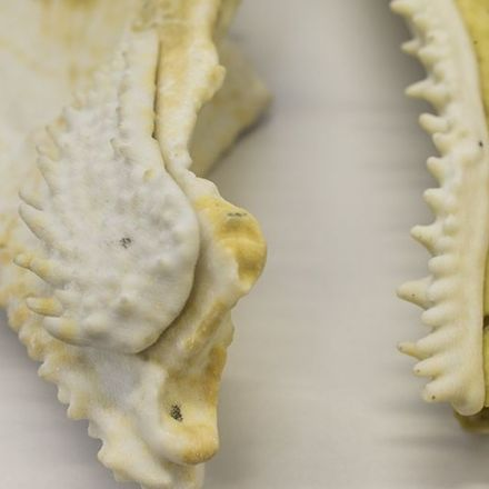 400 million year old fish fossil reveals jaw structure linked to humans