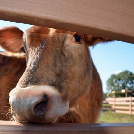The surprising number of American adults who think chocolate milk comes from brown cows