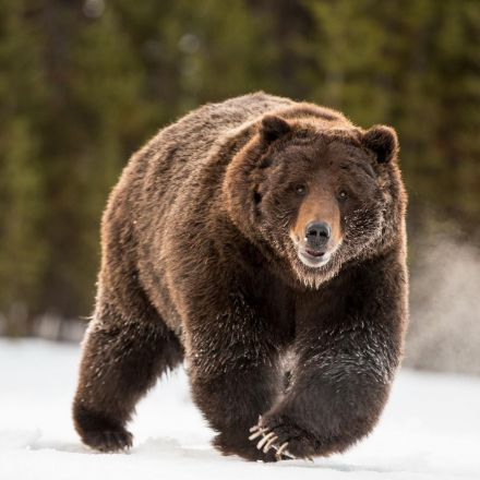 Removal of Yellowstone Grizzlies From Endangered List Ignites Controversy