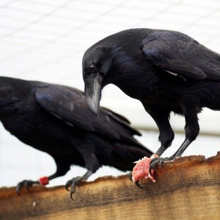 Ravens can plan for future as well as 4-year-old children can