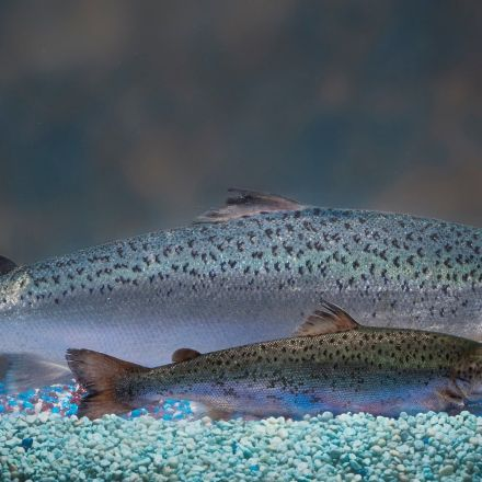 Genetically modified salmon hits the shelves in Canada – and sells quickly