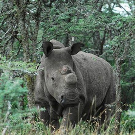Scientists successfully fertilize northern white rhino eggs