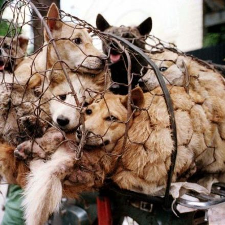 Canines saved from Korea's 'dog meat festival'
