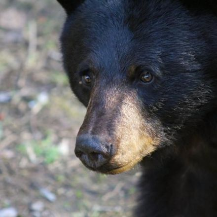 A black bear got punched after entering a Canadian home