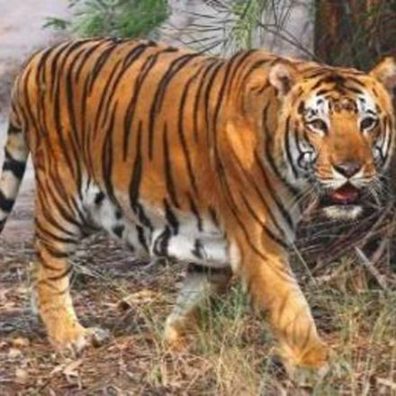 Tiger count in Kaziranga rises from 83 to 104 in 3 years