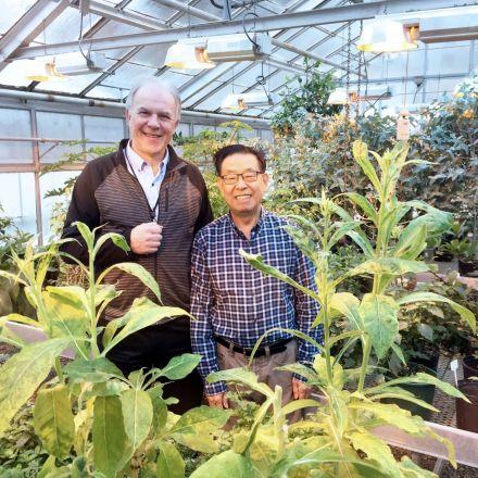 Tobacco plants transformed into 'green bioreactors' to benefit human health