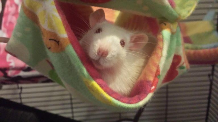 Pudge the rat!