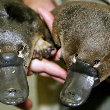Platypus venom could pave the way for a new treatment for diabetes