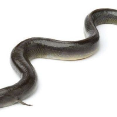 Researchers track eels on their journey across the Atlantic to settle a centuries-old migration mystery