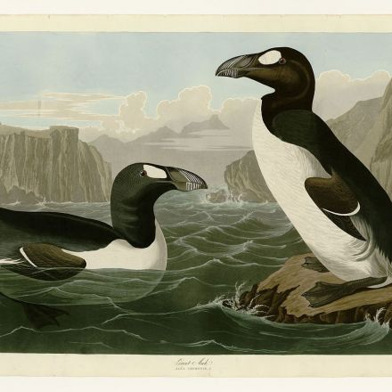 Humans May Be Solely to Blame for the Great Auk's Extinction