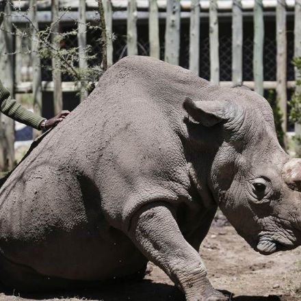 Test-tube rhinos? Experiment aims to save a vanishing species