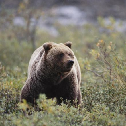 Extinct Cave Bear DNA Found in Living Bears