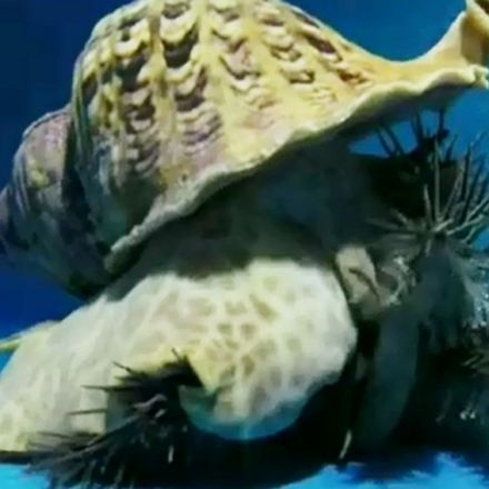 Giant snails take on starfish in fight for the Great Barrier Reef