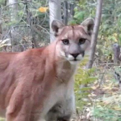 Cougar kentucky