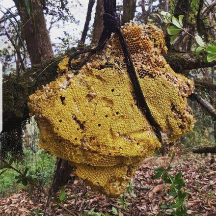 The Hallucinogenic Honey of Nepal and Turkey