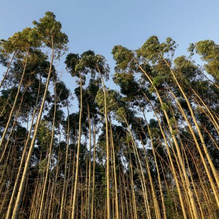 Scientists say sustainable forestry organizations should lift ban on biotech trees