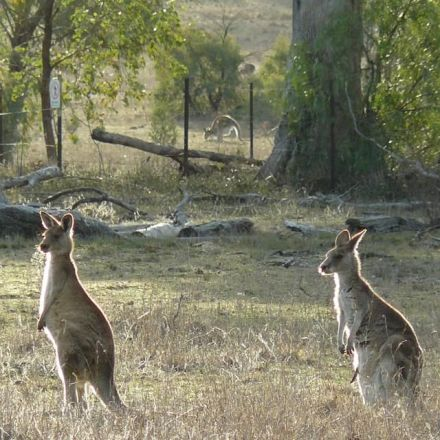 Shy female kangaroos have fewer 'friends' but gather in larger groups than bolder individuals