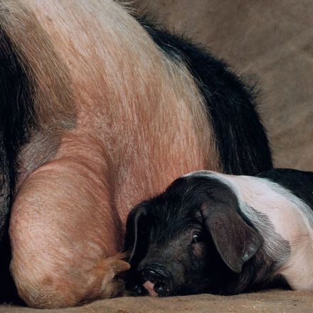 What more evidence do we need to stop killing pigs for food?
